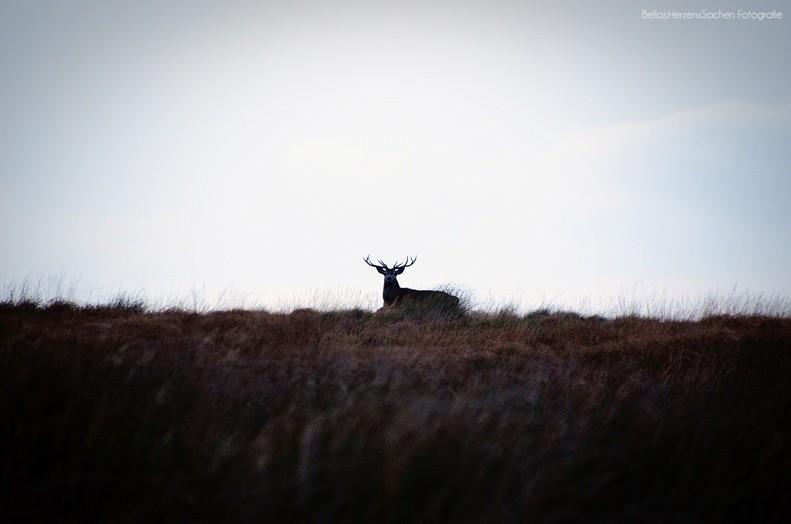 Hirsch in Schottland