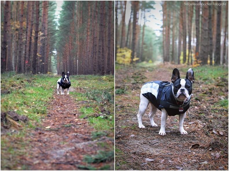 Französische Bulldogge Wald