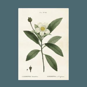Vintage Poster Gardenie 35x50