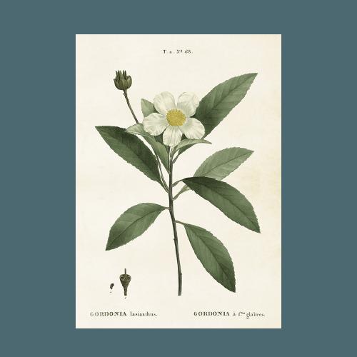 """Vintage Poster """"Gardenie"""" 35×50"""