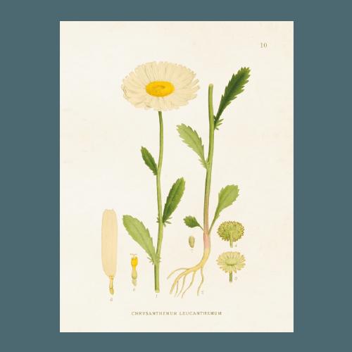 Vintage Poster Gänseblümchen Sköna Ting 18x24