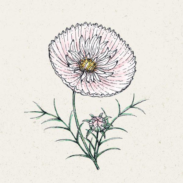 """Samen Cosmos bipinnatus """"Cupcake Blush"""""""