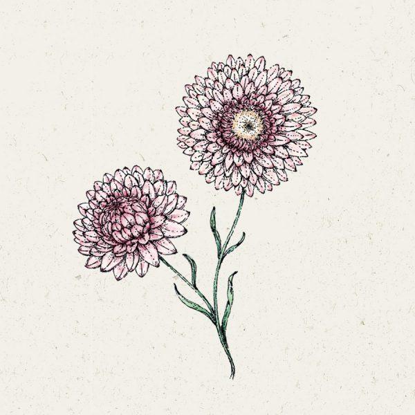 Helichrysum bracteatum Silvery Rose Strohblume Samen