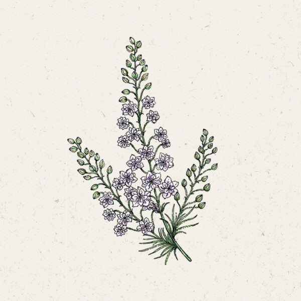 Blumensamen Jora Dahl Delphinium Consolida 'Fancy Smokey Eyes' (Rittersporn)